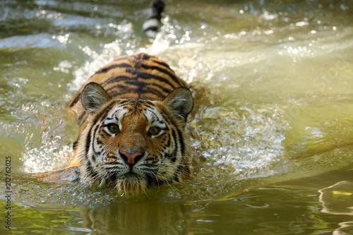 Fototapeta Der Sibirische Tiger