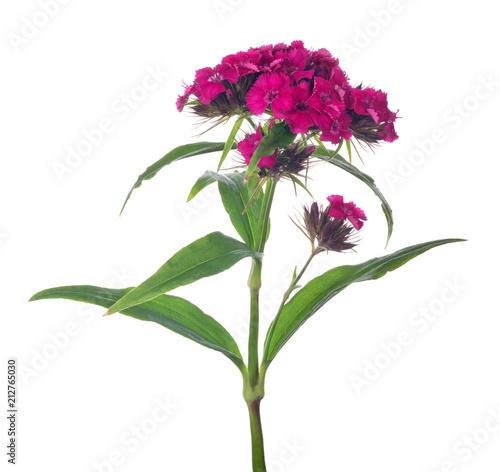 dark pink flower on stem with leaves