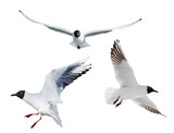 three flying black headed gulls on white - 212765400