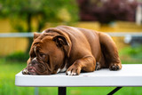 Sad Bulldog laying on white table outdoors