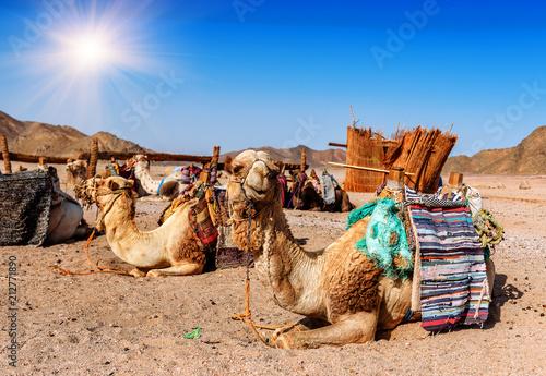 Fotobehang Kameel camels rest in the desert