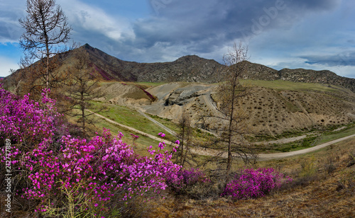 Russia. The South Of Western Siberia, spring flowers of the Altai mountains. Rhododendron. Its flowering period is the main event of spring in the Altai mountains, which attracts many tourists.