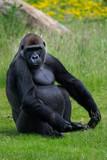 Gorilla - 212779222
