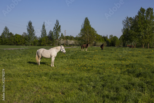 Fotobehang Paarden a white horse grazes on a meadow in spring and near a farm