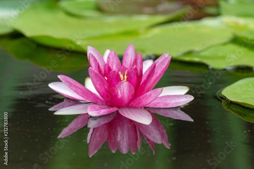 Fototapeta Pinke Seerose im Teich mit Spiegelung