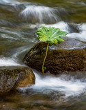 Flowing rapids with two rocks and water plant leaf - 212790644