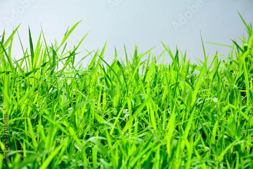 Green grass background texture. - 212801881