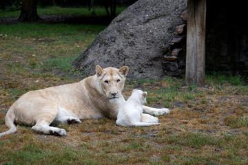 Löwenmutter mit einem Jungen in nahaufnahme