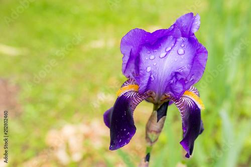 Fotobehang Iris iris violet with dew