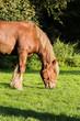 Draft horses in meadow in Belgium