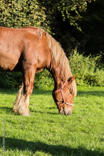 Fotobehang Paarden Draft horses in meadow in Belgium