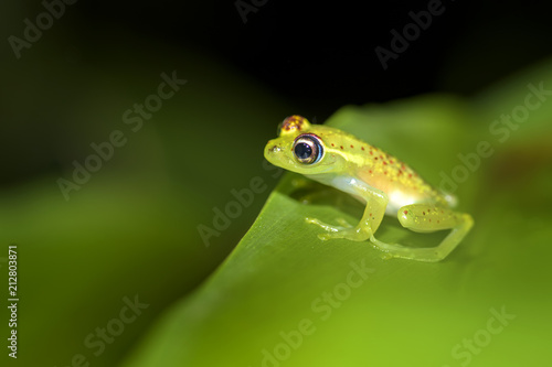 Fotobehang Kikker red dotted frog - Boophis bottae, beautiful nocturnal endemic frog from Madagascar forests, Andasibe.
