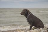 Labrador looks at the sea - 212804455