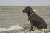 Labrador looks at the sea - 212804613