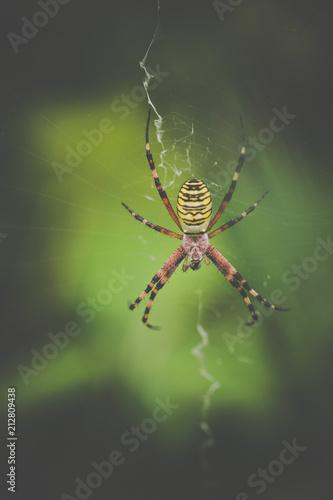 Fototapeta araignée seule jaune et noire et rouge sur sa toile en gros plan en été sur fonds vert