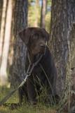 brown labrador puppy - 212810656