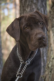 brown labrador puppy - 212810658