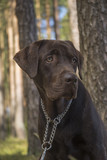 brown labrador puppy - 212811013
