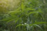 fields of industrial hemp in Estonia - 212811691