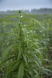 fields of industrial hemp in Estonia - 212812041