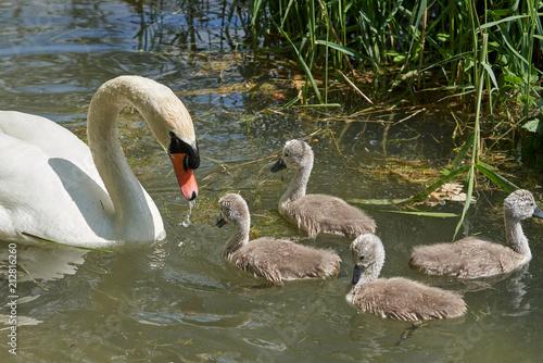 Fotobehang Zwaan Schwan Famielie im Wasser