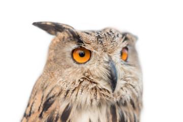 Royal owl on white isolated background.