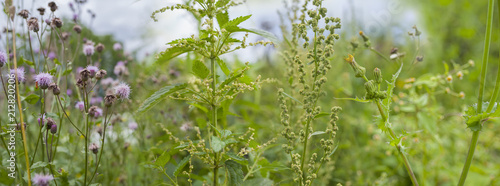 weeds - nettle, thistle, wormwood on a field close up - 212820206