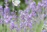 Lavender flowers at sunlight - 212820422
