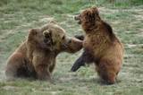 Grizzly Wrestling - 212835089