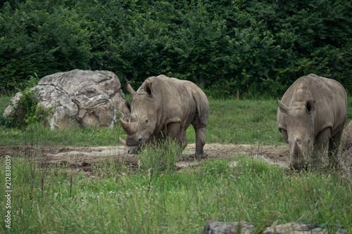 Fotobehang Neushoorn Black Rhinoceros