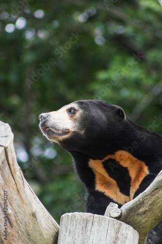 Foto Murales Close up portrait image of a Asian Sun Bear (Helarctos malayanus)