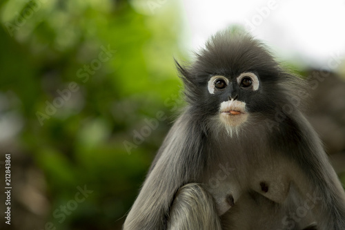 In de dag Aap close up face of leaves monkey against green blur background