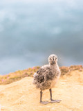 Seagull Chick  - 212847266