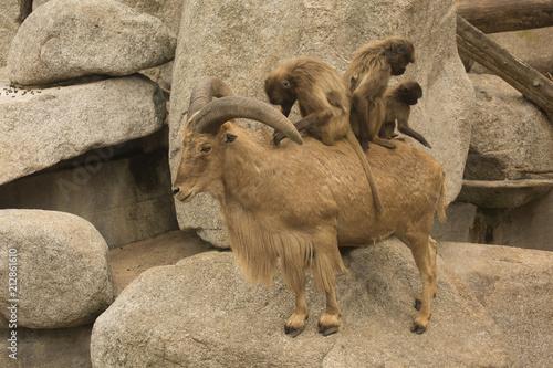 Gelada Baboon (Theropithecus Gelada) and Barbary sheep (Ammotragus lervia). - 212861610