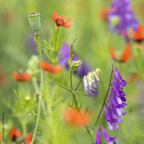 kolorowe letnie kwiaty w kilku różnych kolorach kwitną w naturalnym polu francuskim