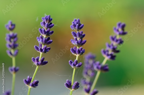 Fototapeta Close up of lavender (Lavandula) in bloom