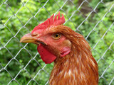Beautiful young rooster portrait. Cockerel on the summer farm