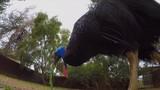 Cassowary eating a leaf - 212869445