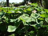Lotusblume - 212871437