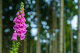 blühende Waldpflanzen Fingerhut Digitalis