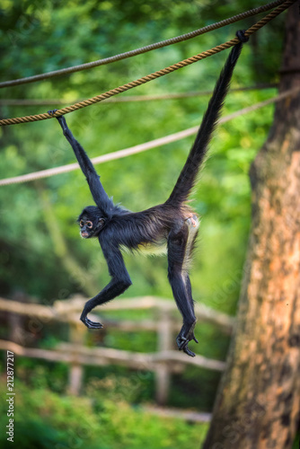 Fotobehang Aap Geoffroy's Spider Monkey hangin on a rope