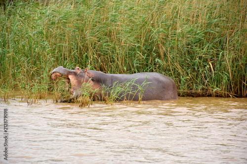 Obraz na płótnie Flusspferde