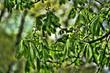 Leinwanddruck Bild - young shoots of spring chestnut