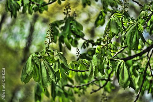 Leinwanddruck Bild young shoots of spring chestnut