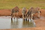 Zebras am Wasserloch - 212882455