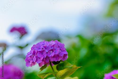 Fotobehang Groene 若松紫陽花祭り