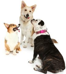 Bulldog and White German Shepherd Friends