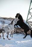 Fototapeta Horses - Konie © Anna
