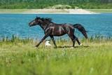 Black Stallion Running - 212909868
