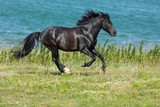 Black Stallion Running - 212910234